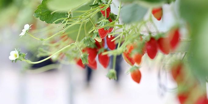 Technology Beats Humans at Growing Strawberries at Greenhouses in Pinduoduo Smart Agriculture Competition