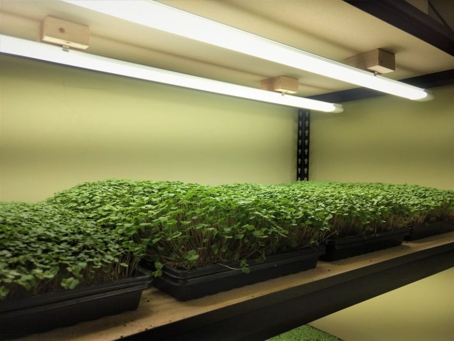 Brian Turner of Happy Sprouts Farms has converted his entire grow space to GroBar lighting, groundbreaking horticultural LED technology by VividGro.