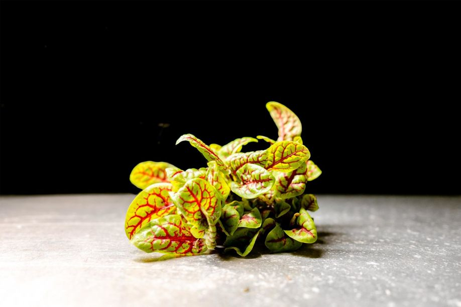 Mustard Greens Scarlett Frills
