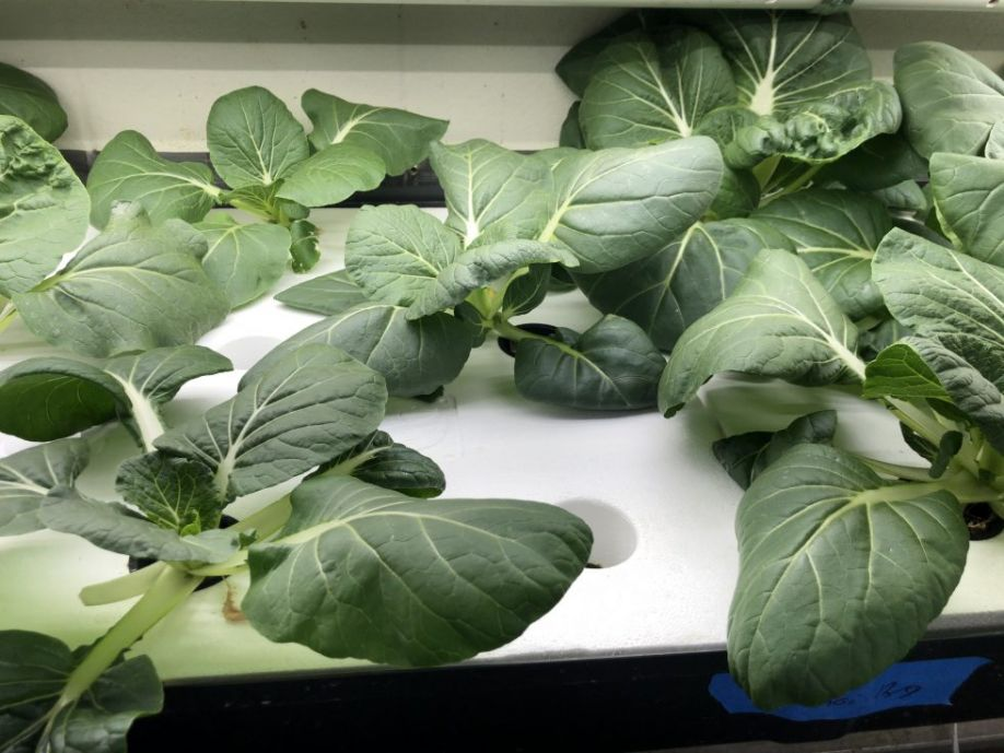 Locally sourced bok choy growing in a deep flow technique (DFT) hydroponic system
