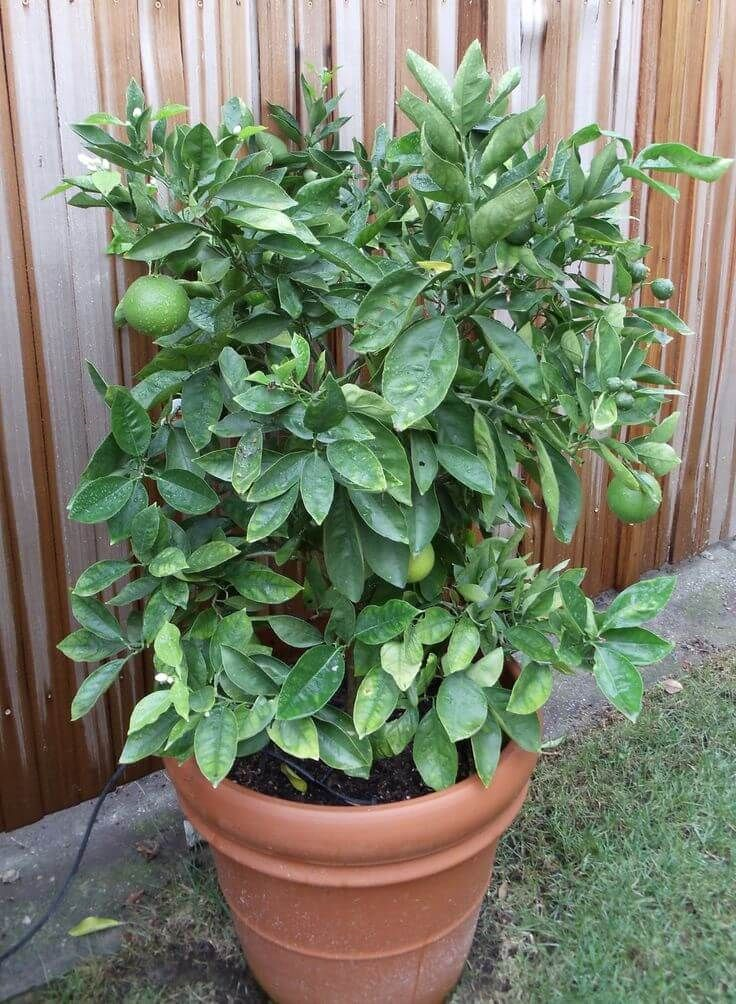 A Dwarf Avocado Tree Enables Home Gardeners To Grow An In Container Varieties 10 12 Feet Tall This Fast Growing Produces
